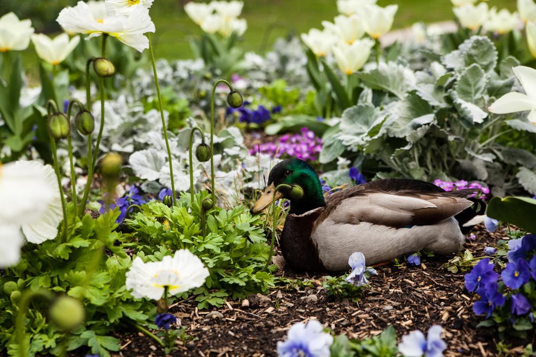 toulouse, jardin des plantes, canard