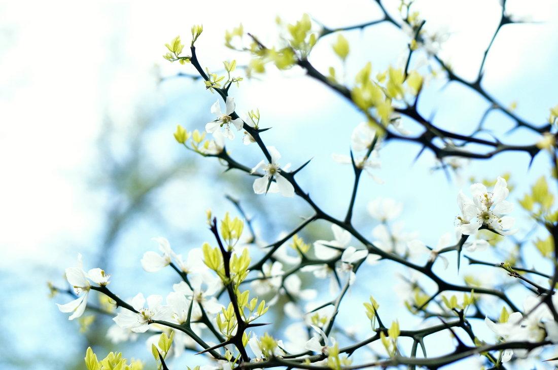 fleurs de cerisier, cherry blossom