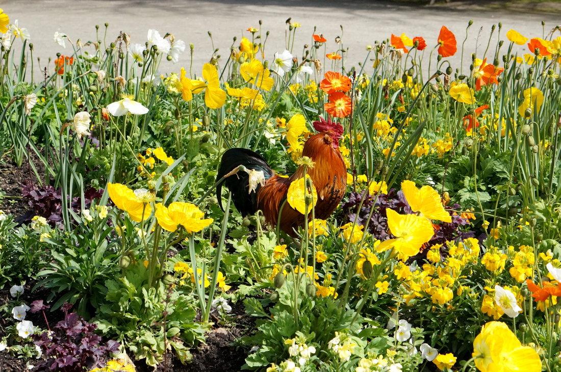 jardin des plantes toulouse, printemps toulouse, coq