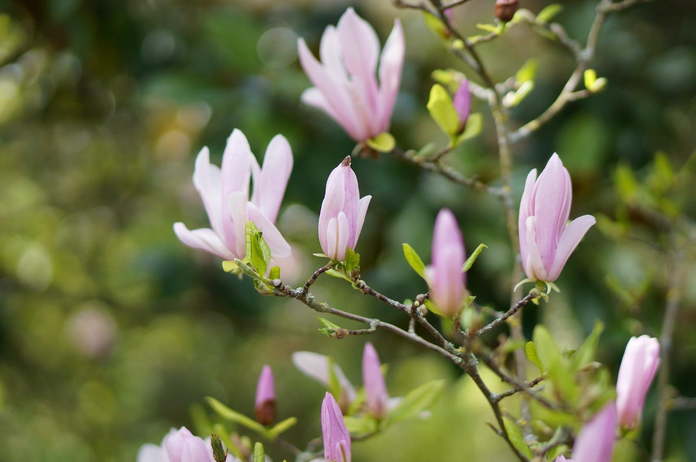jardin des plantes toulouse, printemps toulouse, magnolia