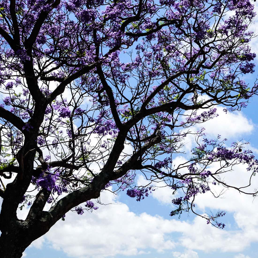 arbre mauve; lisboa; lisbonne