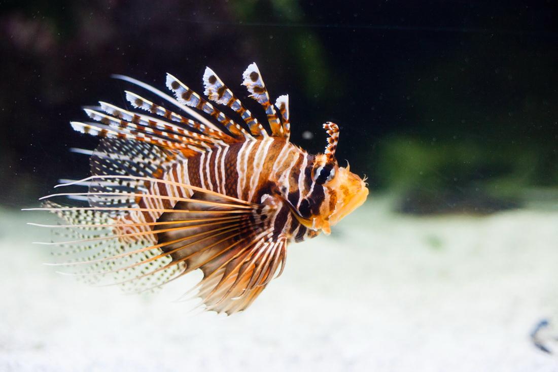 aquarium la rochelle, rascasse