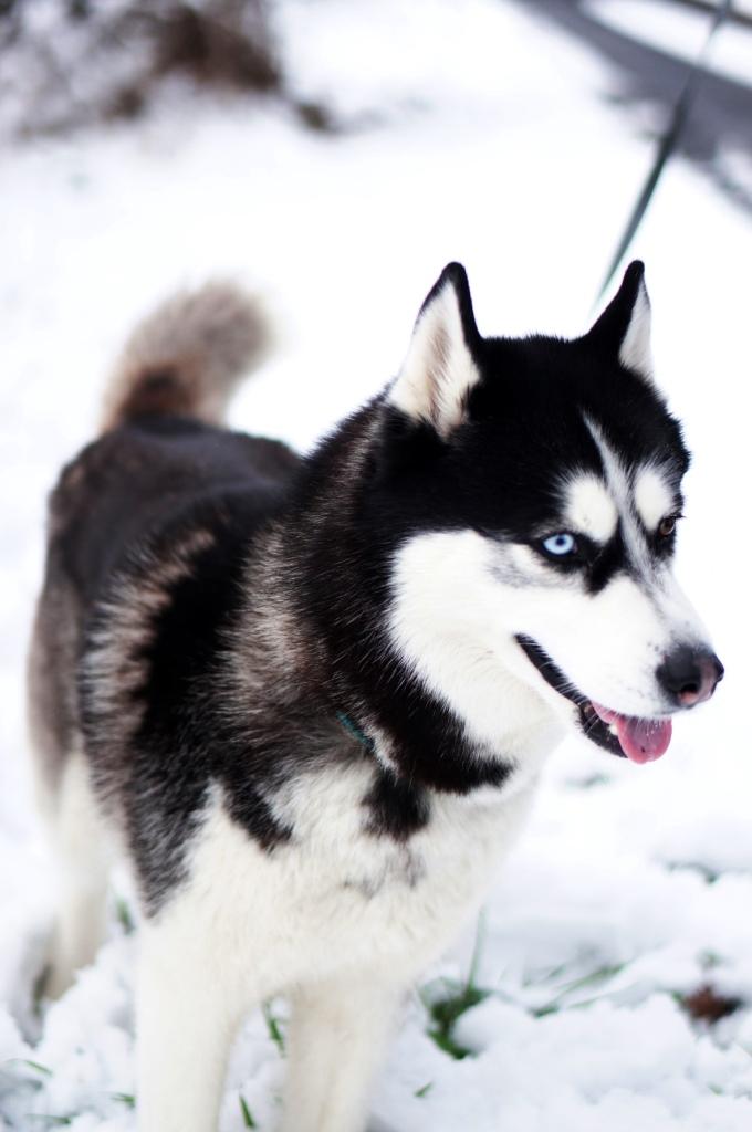 neige, hiver en auvergne, auvergne, allier, husky
