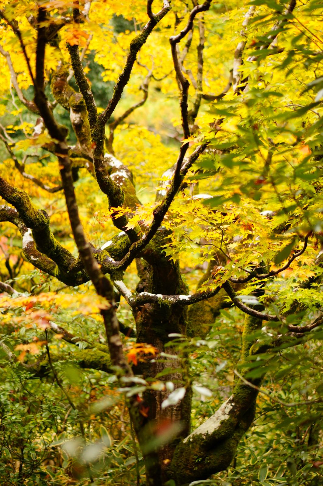 Kyoto, momiji kyoto, voyage kyoto, séjour kyoto, kyoto automne, kyoto fall, kyoto autumn, kyoto érables