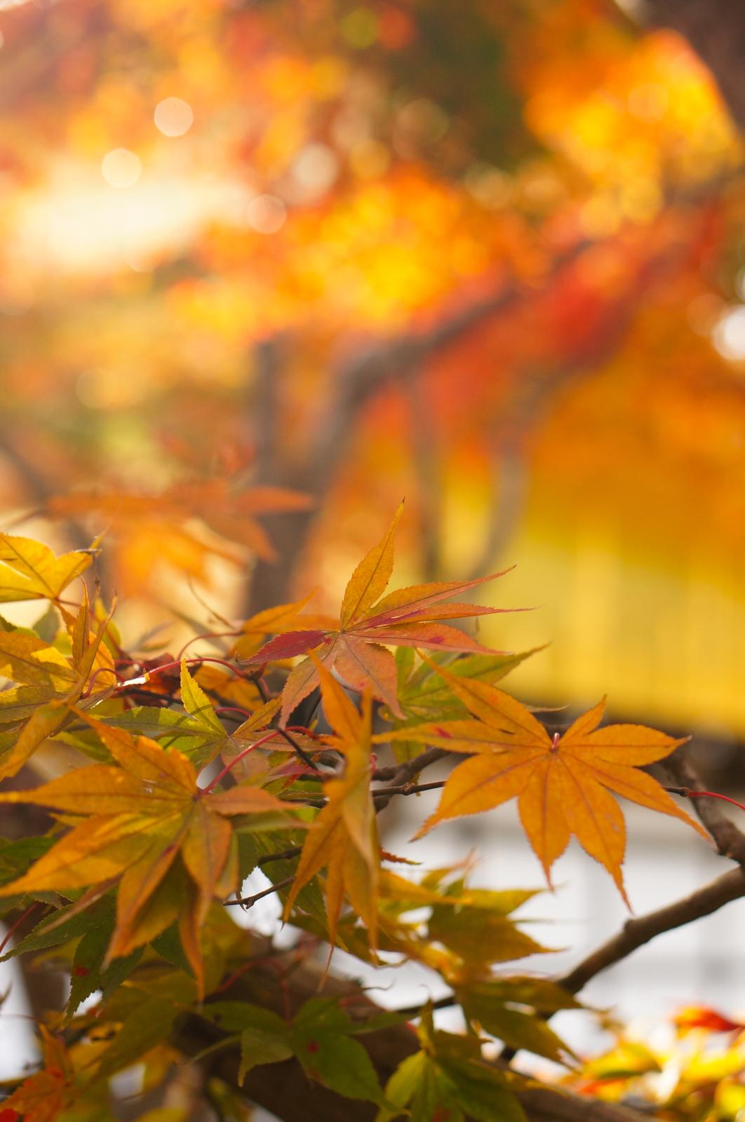 Kyoto, momiji kyoto, voyage kyoto, séjour kyoto, kyoto automne, kyoto fall, kyoto autumn, kyoto érables, kinkaku-ji, temple du pavillon d'or