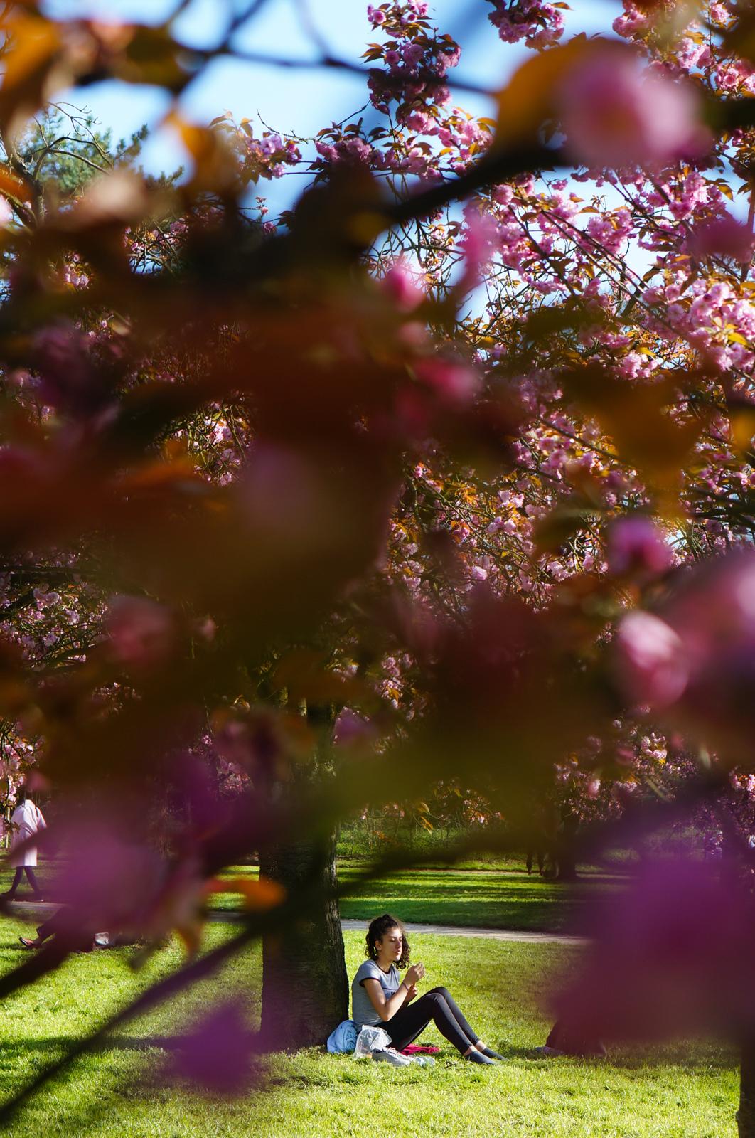 parc de sceaux, hanami france, hanami parc sceaux, cerisiers fleurs sceaux, cerisiers fleurs paris